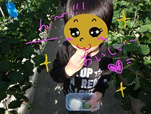 いちご狩りを楽しむ4歳児(伊豆フルーツパーク)