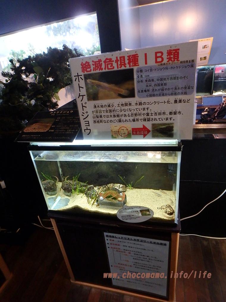 森の中の水族館。(山梨県の富士湧水の里水族館)ホトケドジョウ