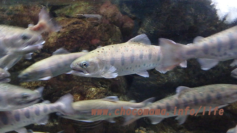 ヤマメ(森の中の水族館。)山梨県
