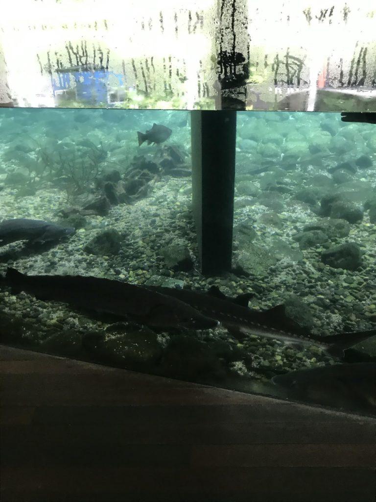 森の中の水族館。(山梨県の富士湧水の里水族館)隣接した池(チョウザメ)館内から