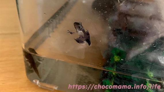 緑の休暇村青根キャンプ場道志川で川遊びで捕まえたオタマジャクシがカエルに成長した写真