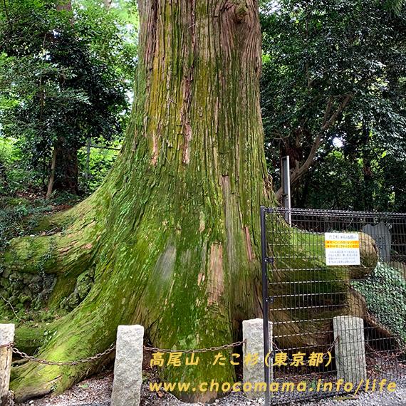 高尾山のたこ杉 樹齢450年 木を植える絵本4選のホームページへ