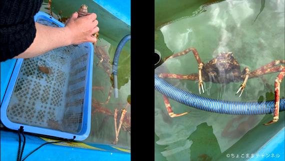 八景島シーパラダイスうみファームのふれあいコーナーのオオグソクムシ