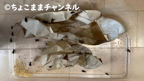 生餌のコオロギ飼育(カナヘビとニホントカゲの飼育を1年間やって分かった事)