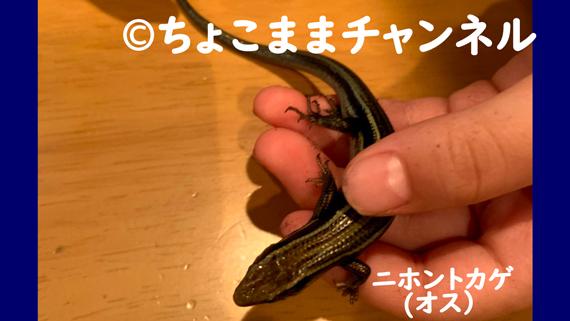 ニホントカゲ(カナヘビとニホントカゲの飼育を1年間やって分かった事)