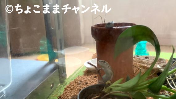 カナヘビ(カナヘビとニホントカゲの飼育を1年間やって分かった事)