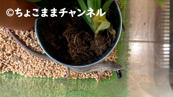 カナヘビとコオロギ(カナヘビとニホントカゲの飼育を1年間やって分かった事)